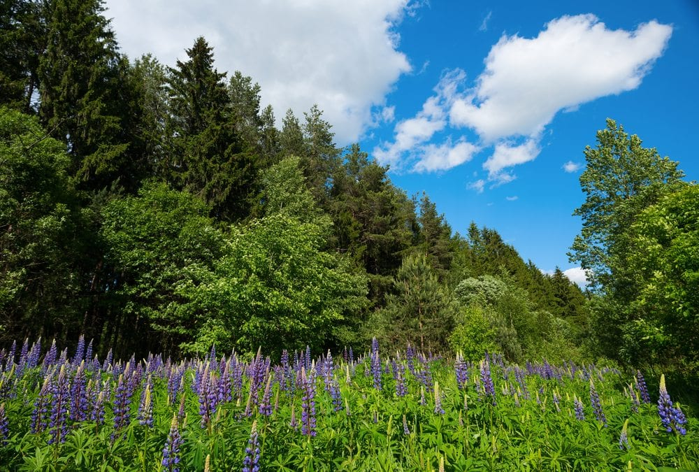 Forest and wildflowers