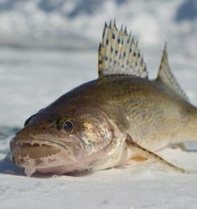 Sauger fish.