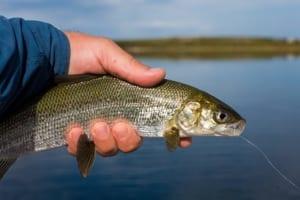 Whitefish.